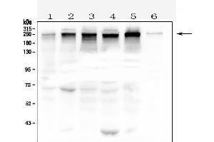 Image no. 3 for anti-Tight Junction Protein 1 (Zona Occludens 1) (TJP1) (AA 1178-1527) antibody (ABIN3043312)