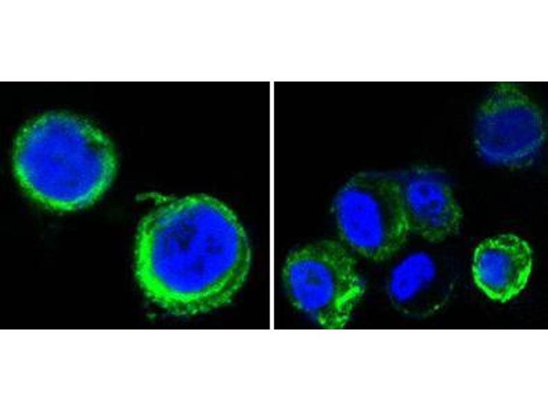 Immunocytochemistry (ICC) image for anti-AXL Receptor tyrosine Kinase (AXL) antibody (ABIN1842897)