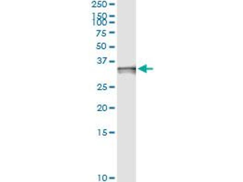 Immunoprecipitation (IP) image for anti-Caspase 3, Apoptosis-Related Cysteine Peptidase (CASP3) (AA 1-277), (full length) antibody (ABIN949992)