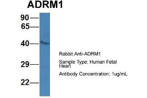 Image no. 1 for anti-Adhesion Regulating Molecule 1 (Adrm1) (C-Term) antibody (ABIN2788040)