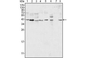 Western Blotting (WB) image for anti-ERK2 antibody (Mitogen-Activated Protein Kinase 1) (ABIN1107133)
