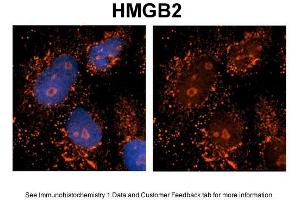 Image no. 3 for anti-High Mobility Group Box 2 (HMGB2) (Middle Region) antibody (ABIN2787574)