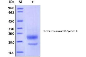 Image no. 1 for R-Spondin 3 (RSPO3) (AA 22-146) (Active) protein (His tag) (ABIN1981534)