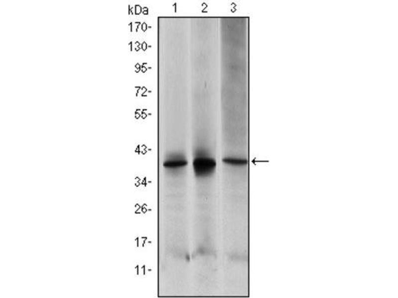 Western Blotting (WB) image for anti-Mitogen-Activated Protein Kinase Kinase 6 (MAP2K6) antibody (ABIN1843873)