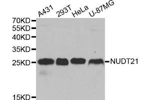 Image no. 1 for anti-Nudix (Nucleoside Diphosphate Linked Moiety X)-Type Motif 21 (NUDT21) antibody (ABIN1681134)