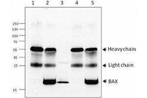 Western Blotting (WB) image for anti-BAX antibody (BCL2-Associated X Protein) (ABIN2666260)