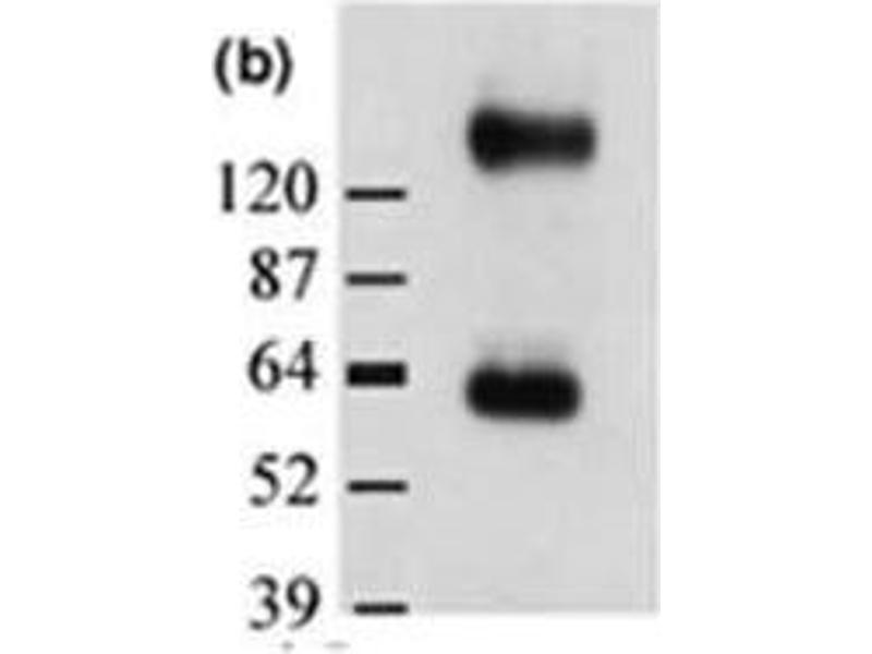 Western Blotting (WB) image for anti-Solute Carrier Family 1 (Glial High Affinity Glutamate Transporter), Member 3 (SLC1A3) (AA 500-542), (C-Term) antibody (ABIN151381)