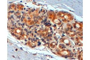 Immunohistochemistry (IHC) image for anti-WNT3 antibody (Wingless-Type MMTV Integration Site Family, Member 3) (ABIN2494148)