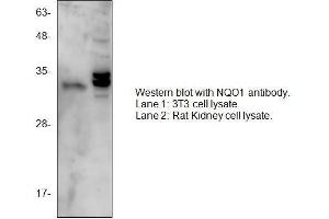 Western Blotting (WB) image for anti-NQO1 antibody (NAD(P)H Dehydrogenase, Quinone 1) (C-Term) (ABIN1686087)