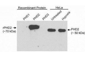 Western Blotting (WB) image for anti-Egl Nine Homolog 1 (C. Elegans) (EGLN1) (C-Term) antibody (ABIN151072)