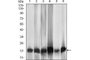 Image no. 1 for anti-Mitochondrial Ribosomal Protein L42 (MRPL42) (AA 142-203) antibody (ABIN1724804)