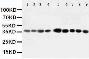 Image no. 2 for anti-Aminoacyl tRNA Synthetase Complex-Interacting Multifunctional Protein 2 (AIMP2) (AA 298-320), (Middle Region) antibody (ABIN3044411)