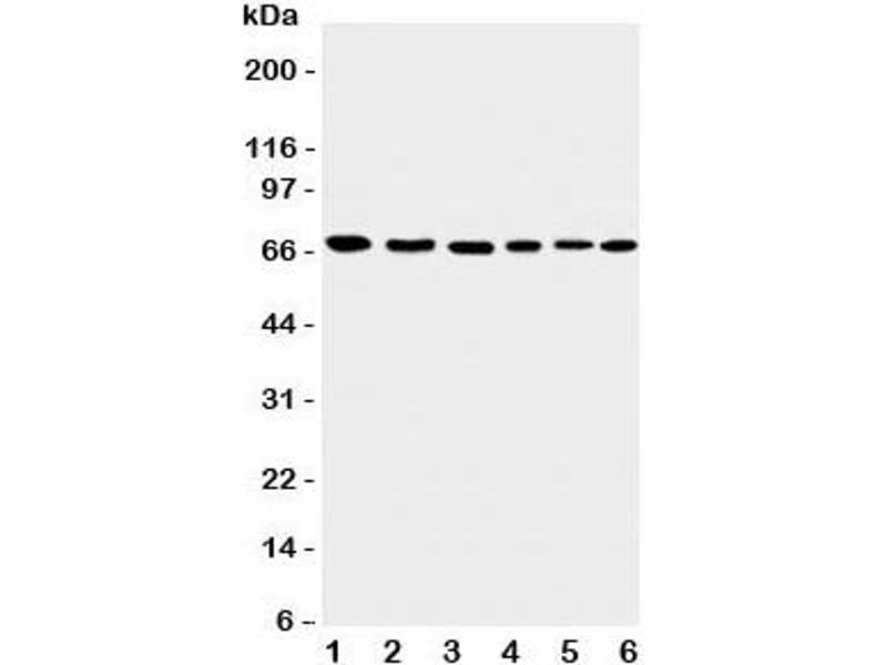 Image no. 3 for anti-Apoptosis-Inducing Factor, Mitochondrion-Associated, 1 (AIFM1) (C-Term) antibody (ABIN3029686)