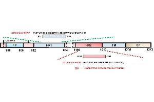 Image no. 2 for SARS-CoV-2 Spike peptide (Cy5) (ABIN6952487)