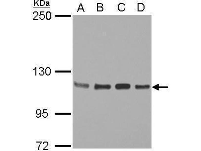 Western Blotting (WB) image for anti-Signal Transducer and Activator of Transcription 2, 113kDa (STAT2) (C-Term) antibody (ABIN2855558)