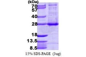 Image no. 1 for ADP-Ribosylation Factor-Like 4A (ARL4A) (AA 1-200) protein (His tag) (ABIN667942)