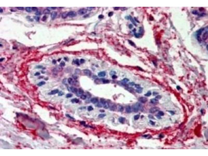 Immunohistochemistry (Paraffin-embedded Sections) (IHC (p)) image for anti-WNT3 antibody (Wingless-Type MMTV Integration Site Family, Member 3) (ABIN251471)
