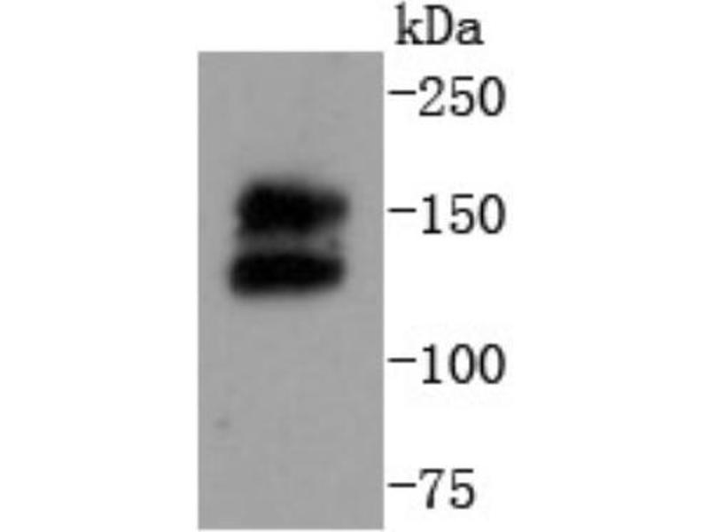 Western Blotting (WB) image for anti-Ret Proto-Oncogene (RET) (C-Term) antibody (ABIN5950544)