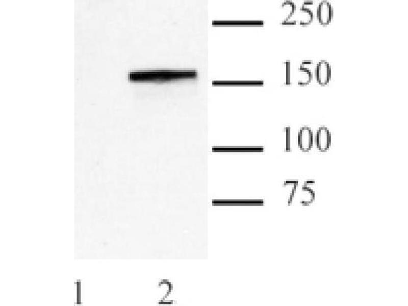 Western Blotting (WB) image for anti-CRISPR-Cas9 (N-Term) antibody (ABIN2668367)