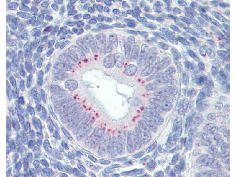 Immunohistochemistry (IHC) image for anti-Secreted Frizzled-Related Protein 1 (SFRP1) (AA 171-183) antibody (ABIN574064)