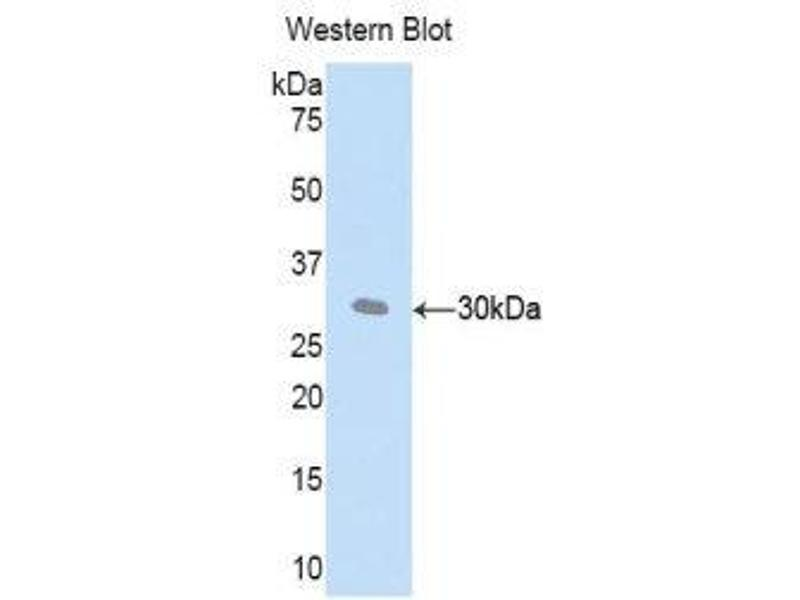 Western Blotting (WB) image for anti-Complement Factor D (CFD) (AA 1-259) antibody (ABIN1858381)