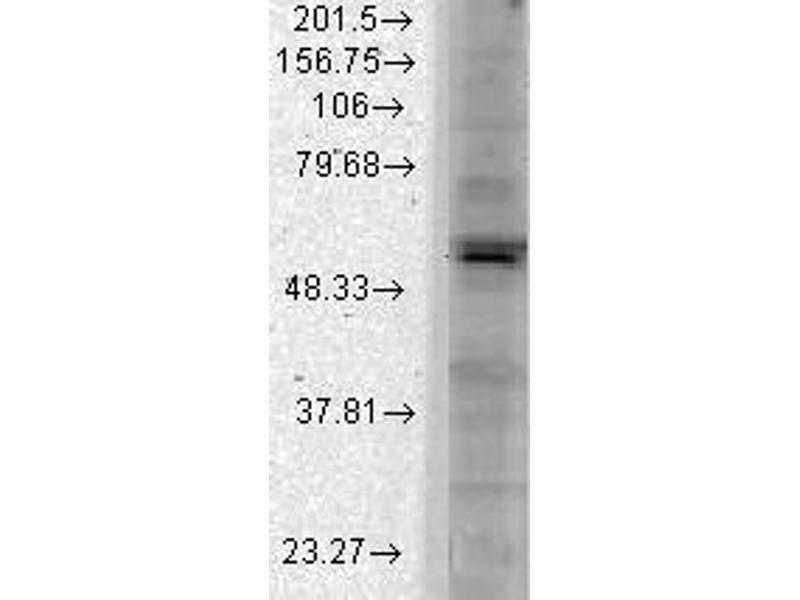 Western Blotting (WB) image for anti-Potassium Inwardly-Rectifying Channel, Subfamily J, Member 2 (KCNJ2) (AA 41-64) antibody (ABIN361769)