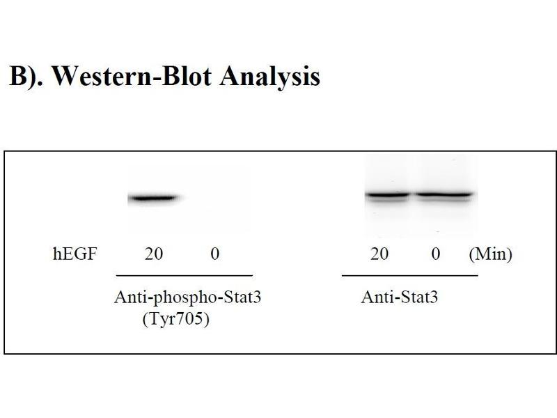 Signal Transducer and Activator of Transcription 3 (Acute-Phase Response Factor) (STAT3) ELISA Kit (4)