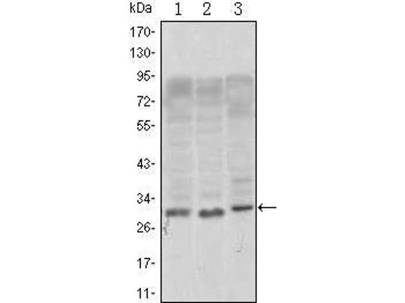 Image no. 3 for anti-CD69 (CD69) antibody (ABIN1106533)