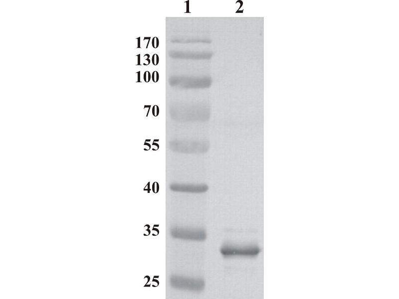 Mlv P30 抗体 Abin956413