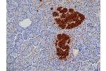 Immunohistochemistry (Paraffin-embedded Sections) (IHC (p)) image for anti-Insulin antibody (INS) (ABIN316680)