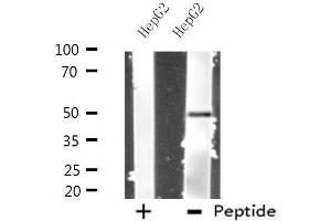 Western Blotting (WB) image for anti-Primase, DNA, Polypeptide 1 (49kDa) (PRIM1) antibody (ABIN6258122)
