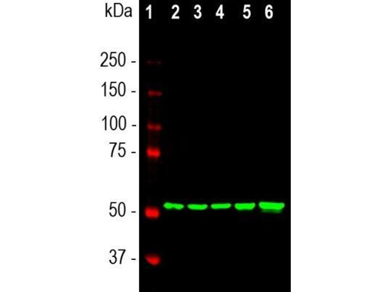 Western Blotting (WB) image for anti-Vimentin (VIM) antibody (ABIN4365308)