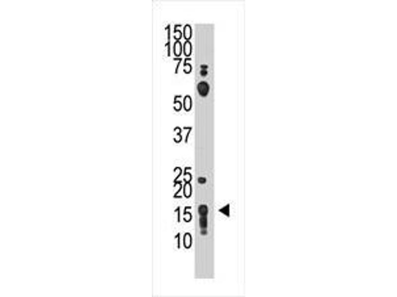 Western Blotting (WB) image for anti-CD90 antibody (THY1) (AA 36-65) (ABIN388803)