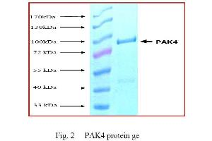 SDS-PAGE (SDS) image for P21-Activated Kinase 4 (PAK4) (Active) protein (ABIN411914)
