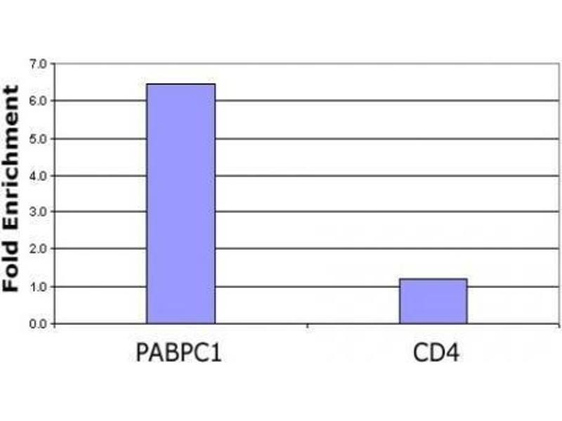 Chromatin Immunoprecipitation (ChIP) image for anti-Histone 3 (H3) (acLys23) antibody (ABIN4889650)