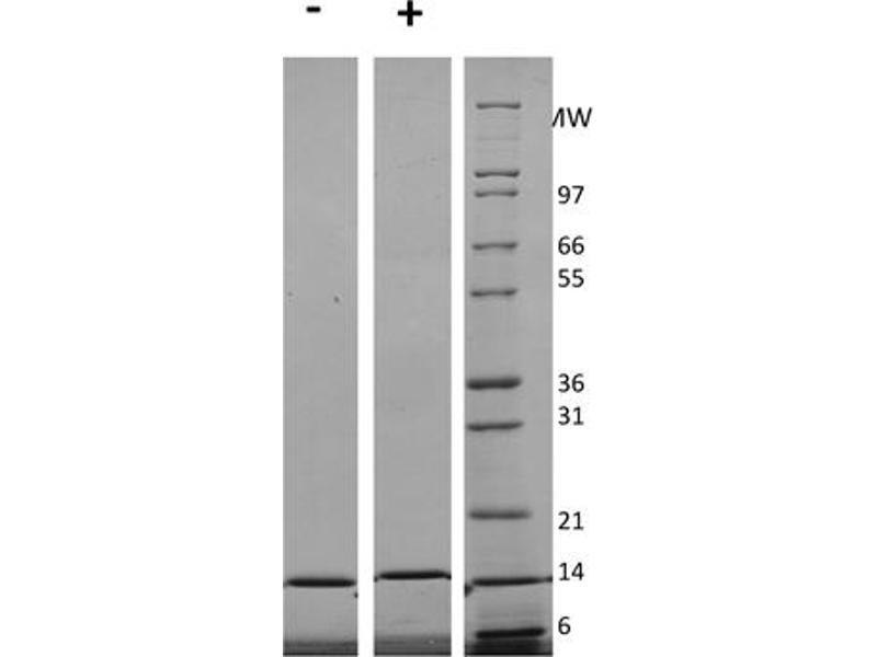 Image no. 1 for Interleukin 3 (IL-3) protein (ABIN6700112)
