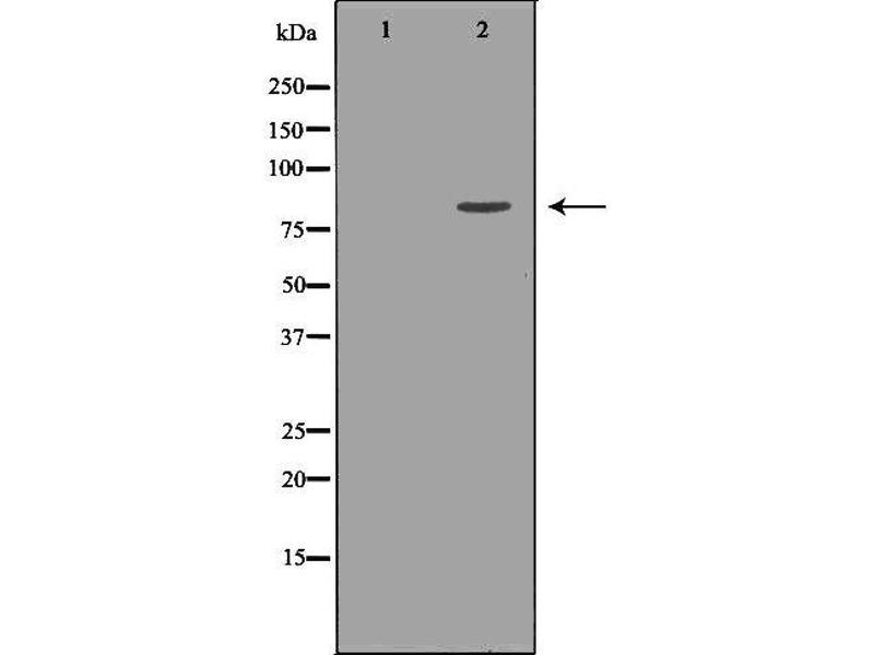 Western Blotting (WB) image for anti-Kinesin Family Member 2C (KIF2C) antibody (ABIN6262808)