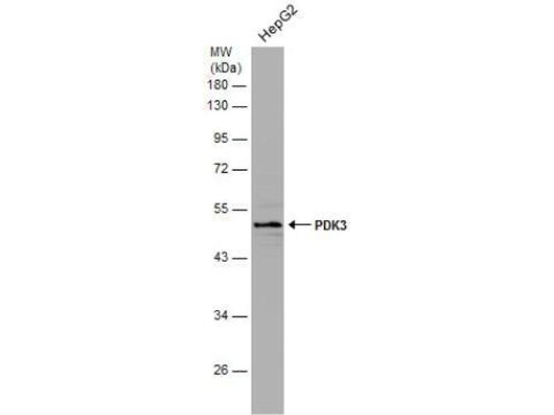 Western Blotting (WB) image for anti-Pyruvate Dehydrogenase Kinase, Isozyme 3 (PDK3) (Center) antibody (ABIN442546)
