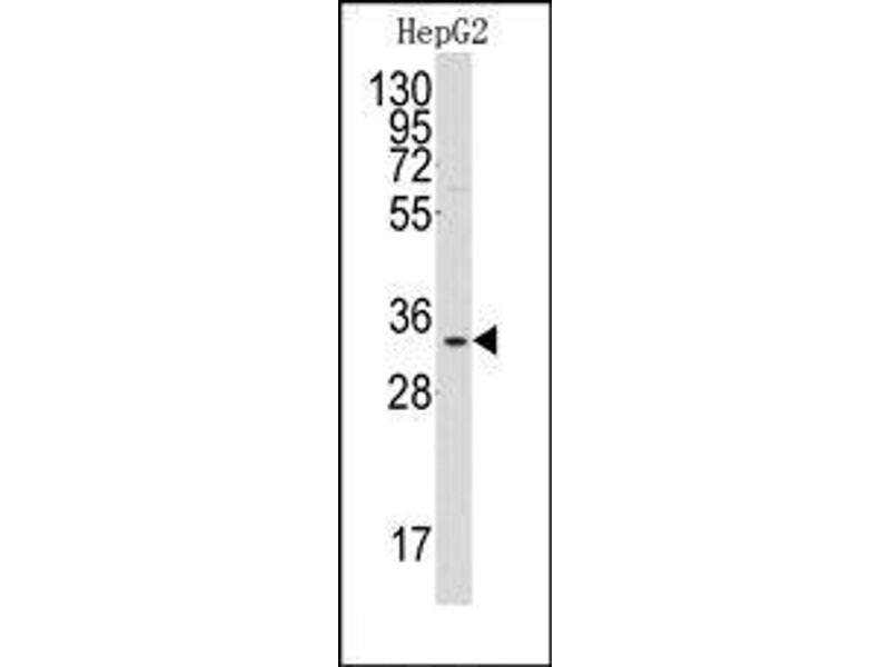 anti-C1QBP antibody (Middle Region) | Product No. ABIN360189