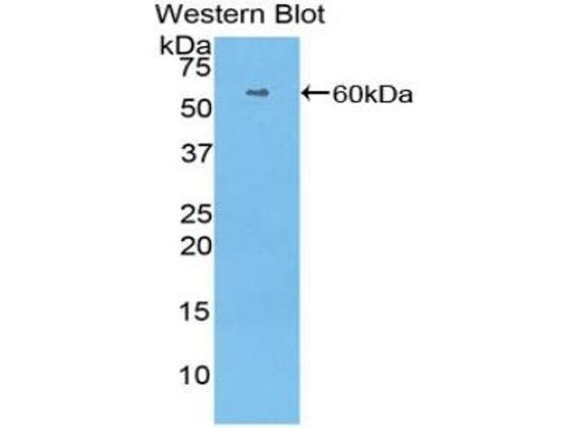 Neuregulin 1 (NRG1) ELISA Kit (4)