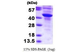 Image no. 1 for Sulfotransferase Family, Cytosolic, 2B, Member 1 (SULT2B1) (AA 1-365) protein (His tag) (ABIN935098)
