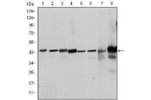 Western Blotting (WB) image for anti-Mitogen-Activated Protein Kinase 3 (MAPK3) antibody (ABIN1108133)