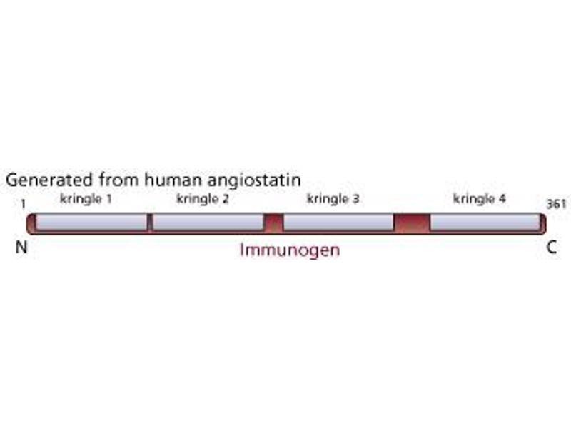 image for anti-Angiostatin (ANG) antibody (ABIN967561)