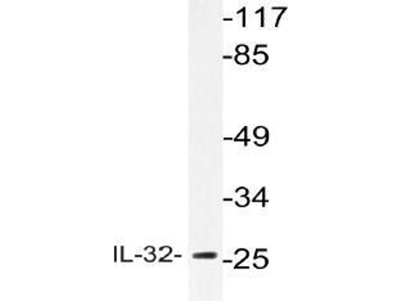Image no. 1 for anti-Interleukin 32 (IL32) antibody (ABIN498668)
