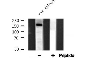 Image no. 2 for anti-FYVE and Coiled-Coil Domain Containing 1 (FYCO1) antibody (ABIN6261836)