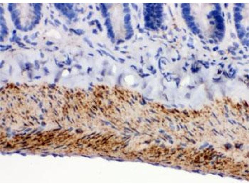Image no. 3 for anti-Monoamine Oxidase B (MAOB) antibody (ABIN4951665)