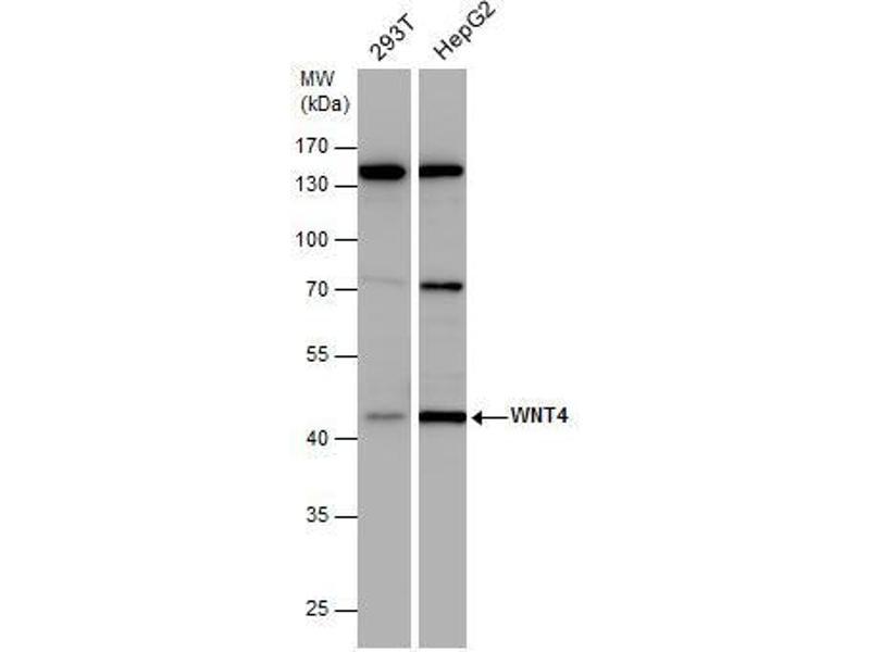 Western Blotting (WB) image for anti-Wingless-Type MMTV Integration Site Family, Member 4 (WNT4) (Center) antibody (ABIN2854927)