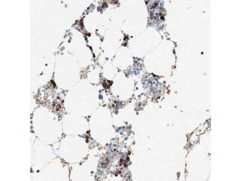 Immunohistochemistry (Paraffin-embedded Sections) (IHC (p)) image for anti-RCAN Family Member 3 (RCAN3) 抗体 (ABIN4349731)