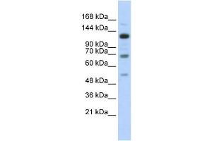 Image no. 1 for anti-Regulatory Factor X, 1 (Influences HLA Class II Expression) (RFX1) antibody (ABIN2458302)