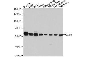 Image no. 1 for anti-Chaperonin Containing TCP1, Subunit 8 (Theta) (CCT8) antibody (ABIN1679065)